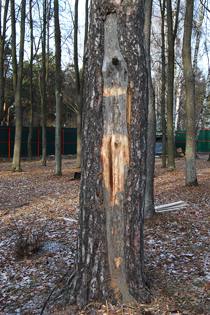 Лечение деревьев лечение дупел