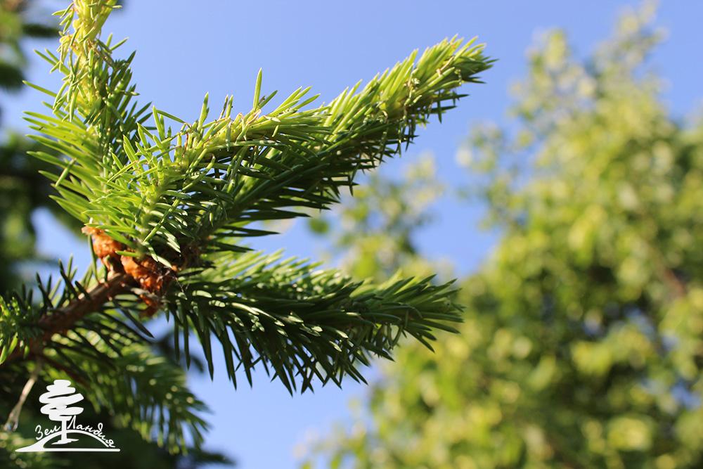 Гусеницы вредители деревьев ели